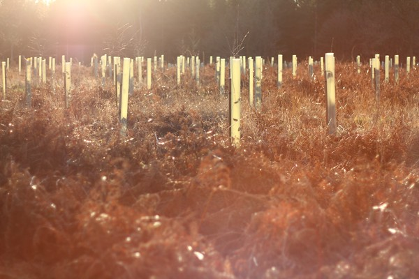 Saplings for a new wood