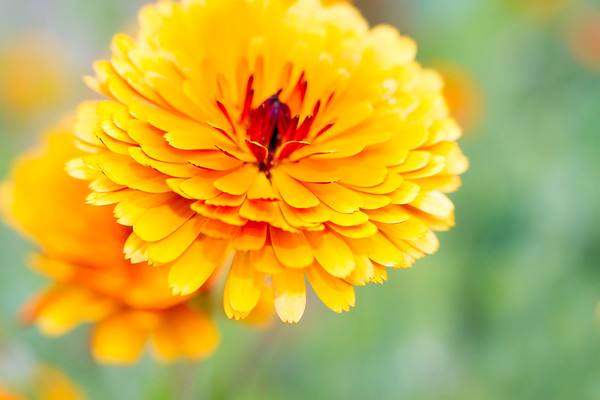 Blooms of Yellow Marigold