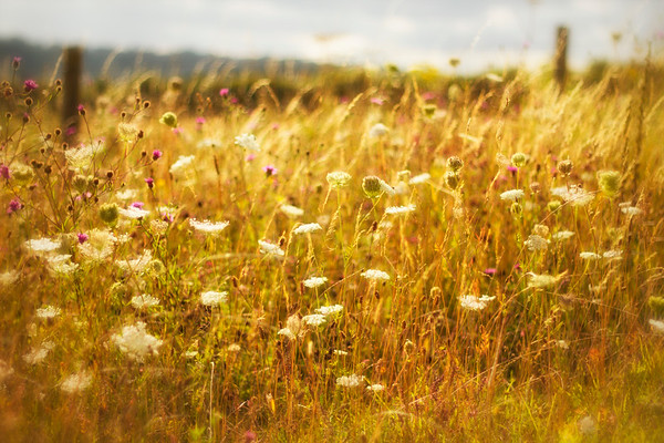 Dreams of a Summer Meadow