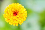 A yellow marigold in full bloom