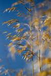 Wild Oats - Grass photographed by Heidi Anne Morris