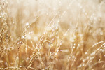 Golden Wild Oats wet with rain
