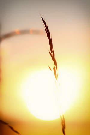 Wild Oat Sunset