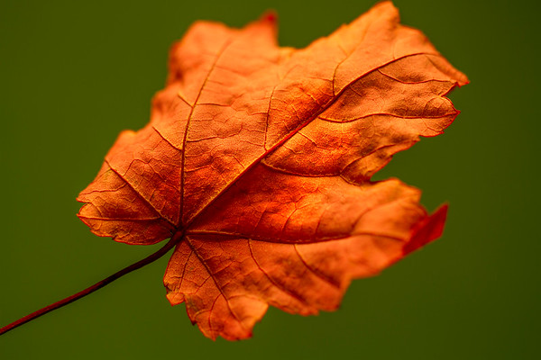 Maple Leaf photographed by Heidi Anne Morris
