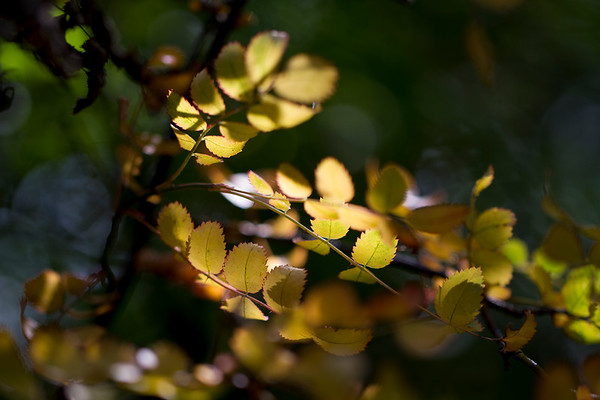 Tiny Yellow Leaves in the Afternoon Sun