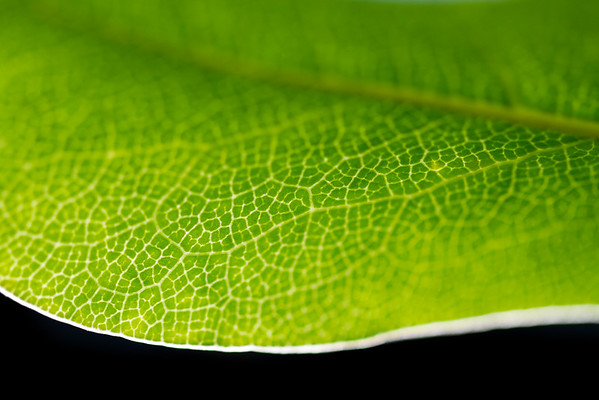 Green Leaf White Veins