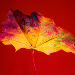 Leaf photographed by Heidi Anne Morris