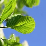 Hazel leaves