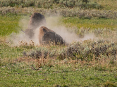 Bison dust bathing, Yellowstone National Park, WY.