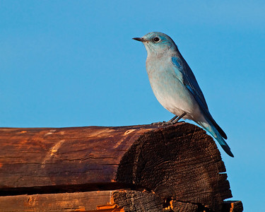 Mountain Blue Bird, Cunningham Cabin, Grand Teton National Park, WY.