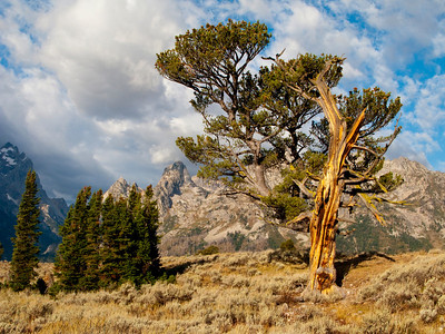 The Patriarch Tree, Grand Teton National Park, WY.
