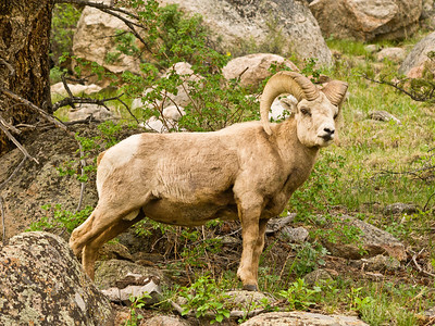 Big horn sheep,  Rocky Mountain National Park.