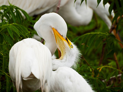 Great egret chick feeding, Gatorland, FL.