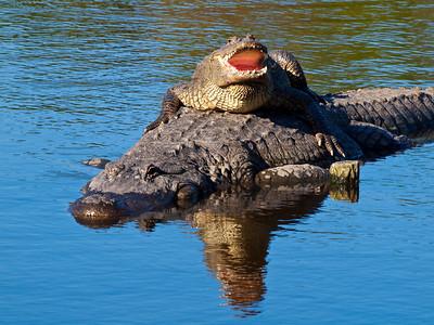 """Piggy Back"", Gatorland, FL."