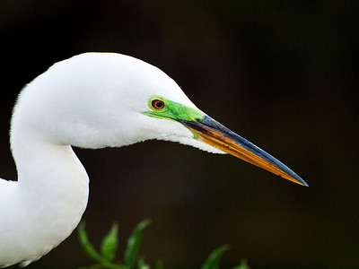 Great egret, Gatorland, FL.