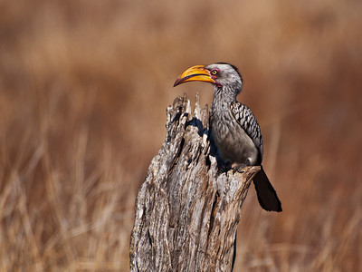 Yellow Billed Hornbill, Kruger National Park, South Africa.
