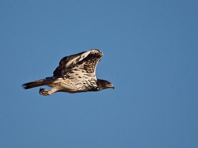 Tawny Eagle, Kruger National Park, South Africa.