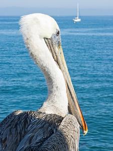 Pelican at Monterey Pier, CA.