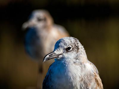 Seagulls in Apalachicola, FL.