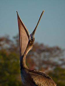 Pelican, Apalachicola, FL.