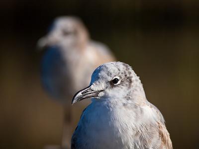 Seagulls, Apalachicola, FL.