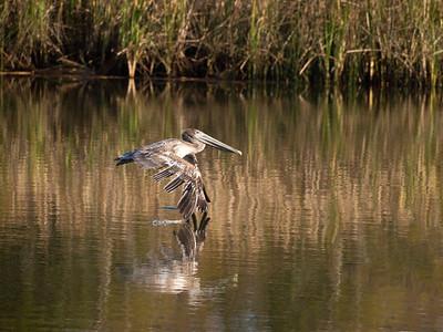 Flying pelican, Apalachicola, FL.