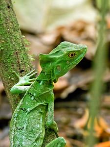Green Basilisk Lizard, Costa Rica.