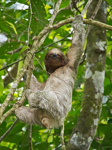 Three Toed Sloth, Costa Rica.