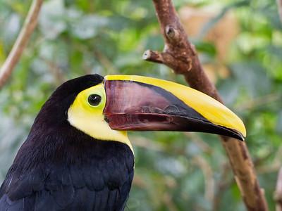 Toucan, Costa Rica.