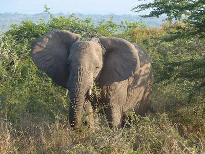 Elephant, Hluhluwe-iMfolozi Park, South Africa.