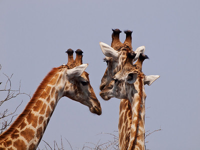 """""""Three's Company"""", Giraffes, Kruger National Park, South Africa."""