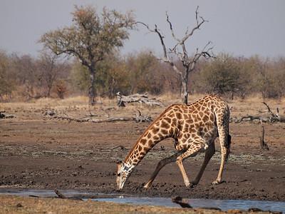 Giraffe drinking, Kruger National Park, South Africa.