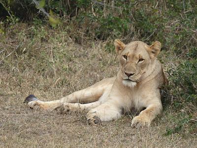Lioness, Hluhluwe–iMfolozi Park, South Africa.