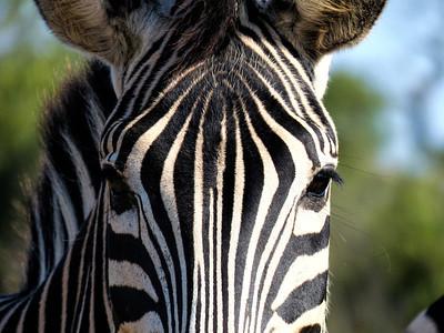 Zebra, Hluhluwe-iMfolozi Park, South Africa.