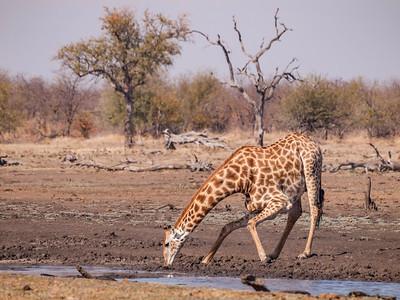 Giraffe drinking in Kruger National Park