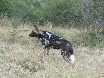 Wild Dog, Hluhluwe–iMfolozi Park, South Africa.