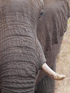 African Elephant, Kruger National Park, South Africa.