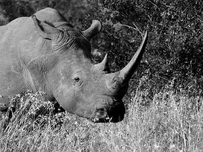 White Rhino, Hluhluwe-iMfolozi Park, South Africa.