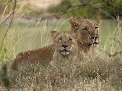 Lions, Hluhluwe-iMfolozi Park, South Africa.