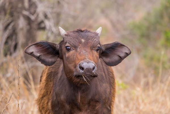 Baby Buffalo, Kruger National Park, South Africa.