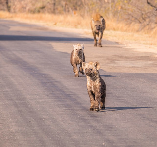 Hyena family, Kruger National Park, South Africa