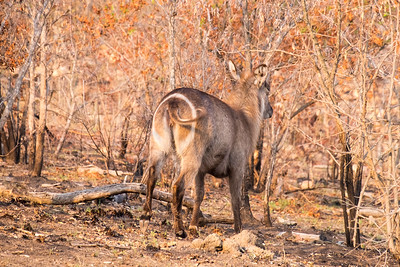 Waterbuck, Kruger National Park, South Africa.