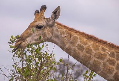 Giraffe, Kruger National Park, South Africa.
