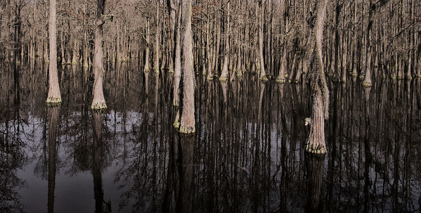 Cypress trees in Mill Pond, George L. Smith State Park