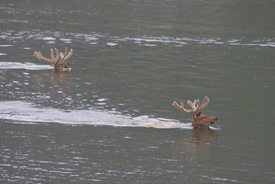 Swimming Elk, Jasper National Park, Canada.