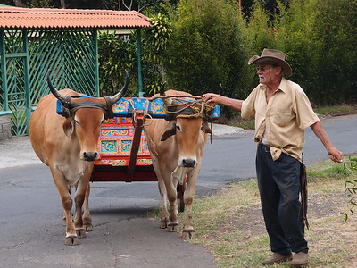 Ox wagon and driver, Costa Rica