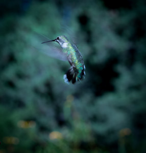 Hummingbird in Shades of Green
