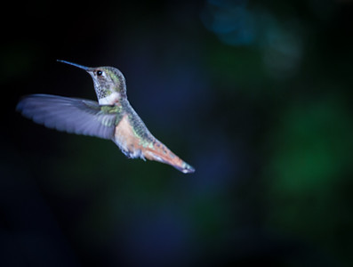 Hummingbird in prayer pose