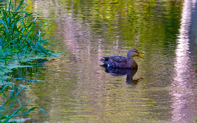 Female Mallard Duck