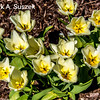 Tulips ?